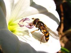 Пчеловидная муха на цветке с пезмог